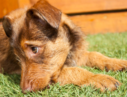Here's Why Artificial Grass Is Beneficial for Dogs